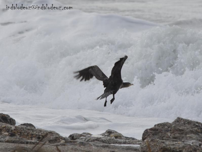 Cormoran en el Cabo de Gata