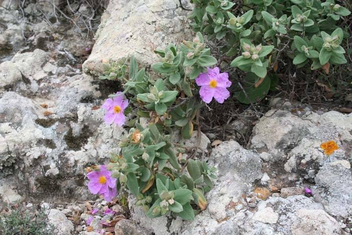 flores en el parque natural cabo de gata nijar