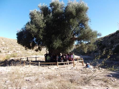olivo milenario aguamarga parque natural cabo de gata