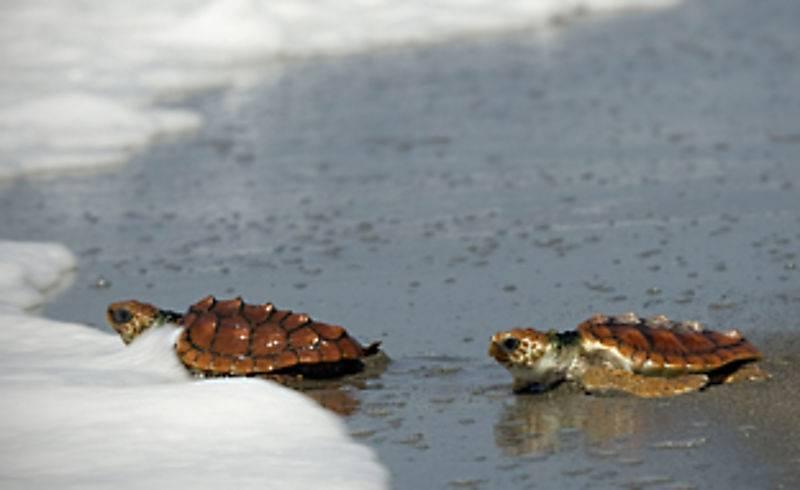 Tortugas Caretta  en parque natural Cabo de Gata Níjar