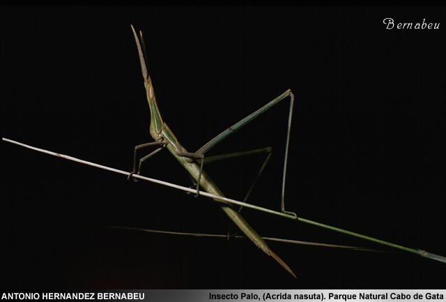Insecto Palo (Acrida nasuta) Parque Natural de Cabo de Gata