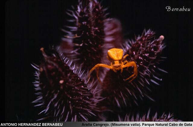 Araña Cangrejo (Misumena Vatia) Parque Natural de Cabo de Gata