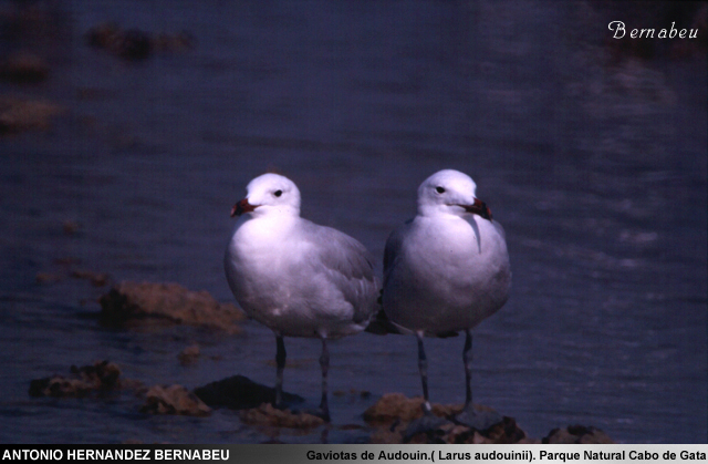 Gaviotas de Audouin ( Laurus Audounini) Parque Natural de Cabo de Gata