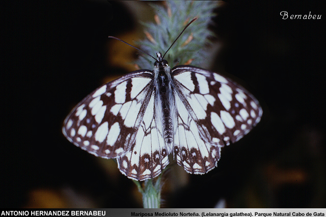 Mariposa Medioluto Norteña (Lelanargia Galathea) Parque Natural de Cabo de Gata