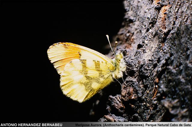 Mariposa Aurora (Anthocharis cardamines) Parque Natural de Cabo de Gata