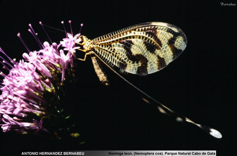 Mariposa Hormiga León (Nemorpthera coa) Parque  Natural de Cabo de Gata