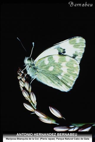 Mariposa Blanquita de la Col Cabo de Gata