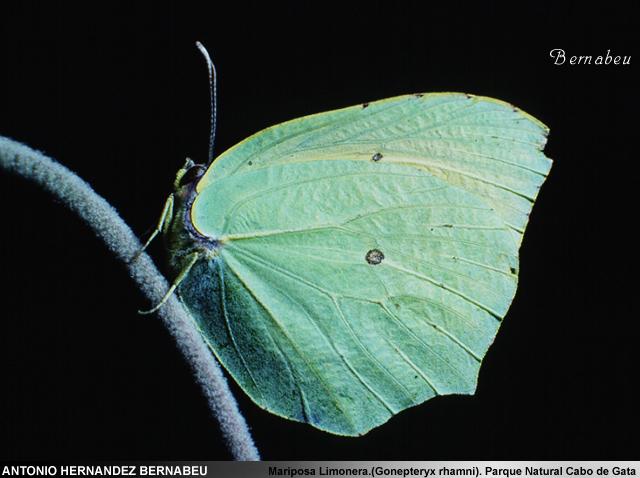 Mariposa Limonera Cabo de Gata