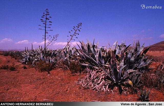 Vistas de Agaves en san José Cabo de Gata