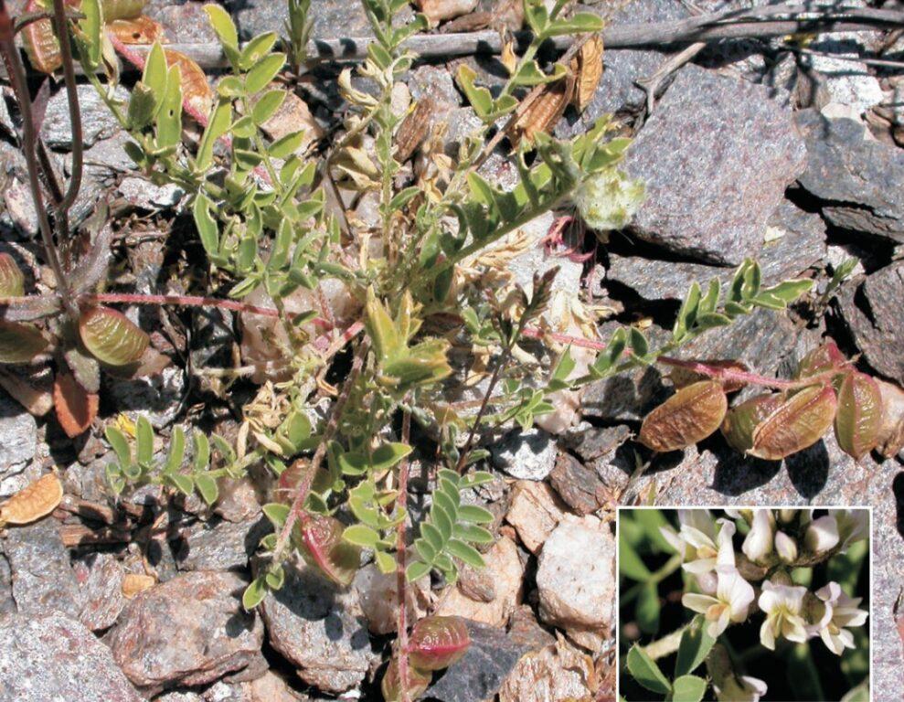 Astragalus edulis
